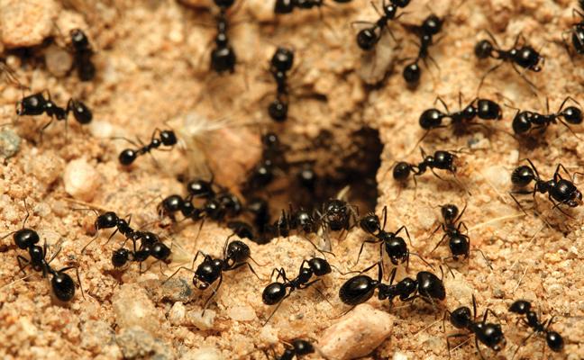iS black ants 147285771 648